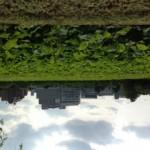 上野不忍池 ハスが綺麗だった!